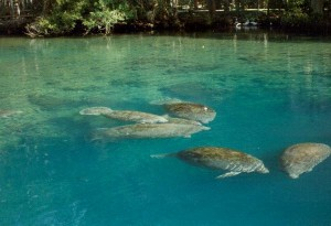 Manatee Conservation Facts