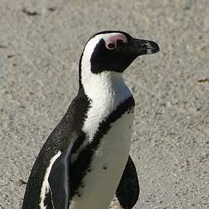 African penguin picture