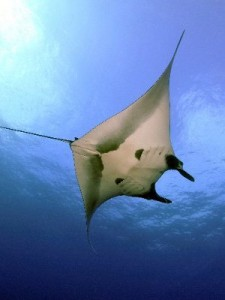 Giant Manta picture