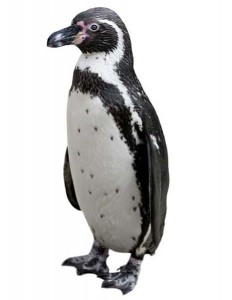 Humboldt Penguin Facts