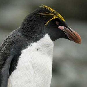 Macaroni penguin picture