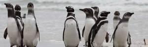 Magellanic_Penguin_dfaulder