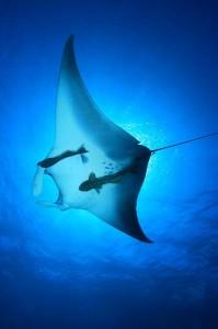 Reef Manta Ray Facts