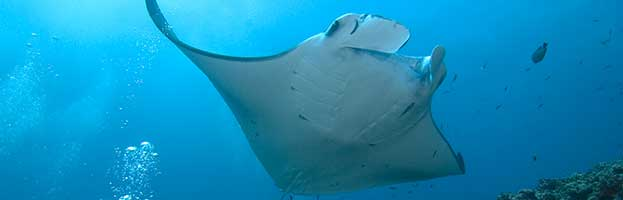 Manta Rays and Humans