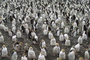 Royal Penguin - Eudyptes schlegeli