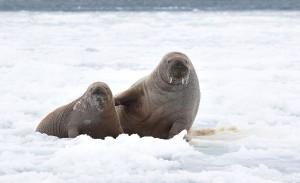 Walrus Breeding