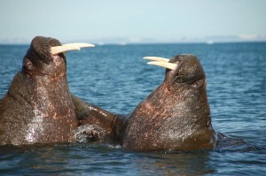 Walrus Reproduction Facts