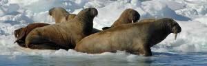 Walrus_Habitat