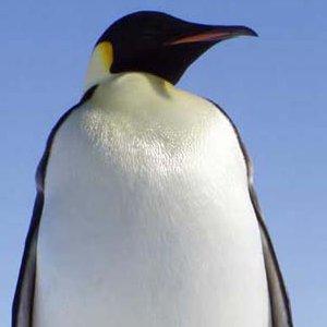 emperor penguin picture