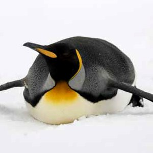 king penguin picture