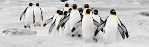 king_penguin