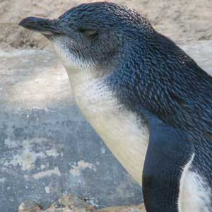 little penguin picture