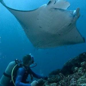 manta ray and human pic