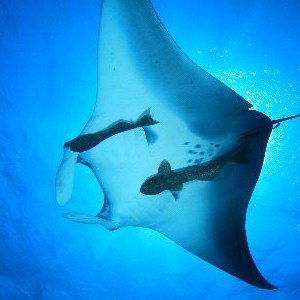 manta ray behavior pic