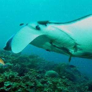 manta ray feeding pic
