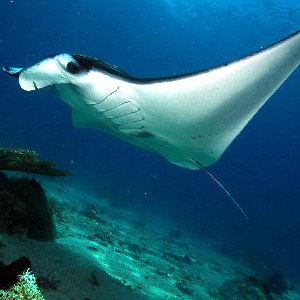 manta ray habitat pic