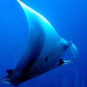manta ray reproduction pic