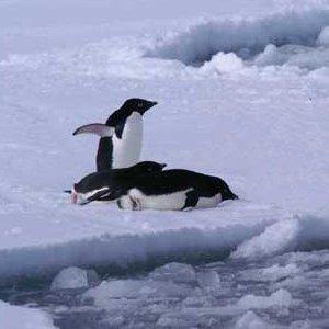 penguin behavior picture