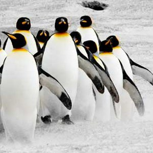 penguin conservation picture