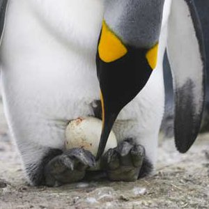 penguin reproduction picture