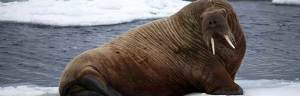 walrus_anatomy