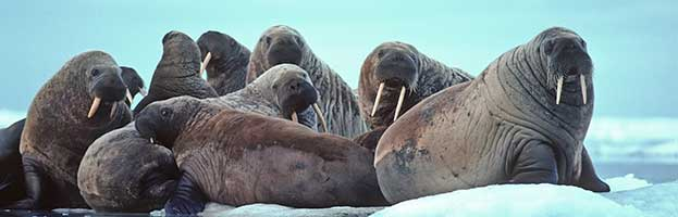 Walrus Evolution