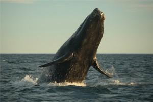 Grey Whale - Eschrichtius robustus