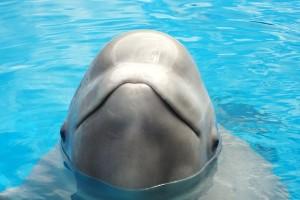Beluga in captivity