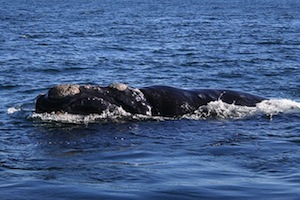 Feature Right whale
