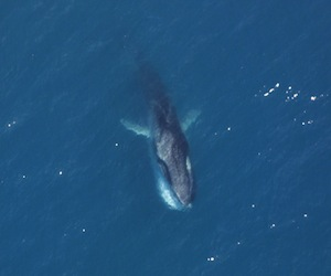 Fin whale facts