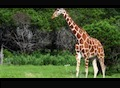 Giraffe video