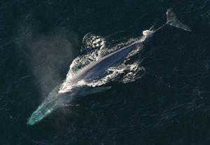 NOAA_Blue_whale