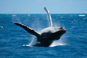 Adult whale jumping
