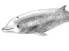 cuviers whale feature