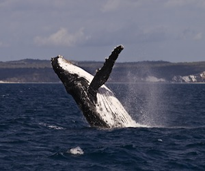 Humpback whale feature