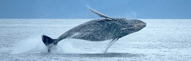 an introduction to the humpback whale 1 introduction with one-way lengths that can exceed 8000 km, the seasonal migrations of humpback whales (megaptera novaeangliae) are the longest known for any mammal [1,2.