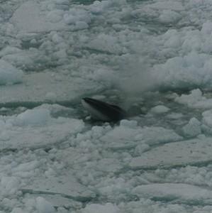 minke whale facts