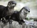 Otter video
