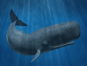 Sperm Whale facts