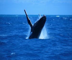 granville whale pic