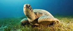 Sea Turtle Facts