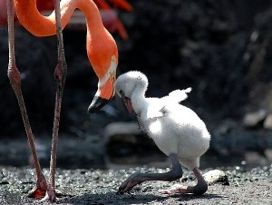 American Flamingo Chick
