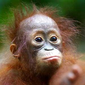 Baby_Orangutan_300
