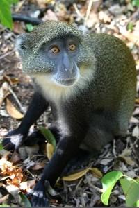 Sykes monkey facts