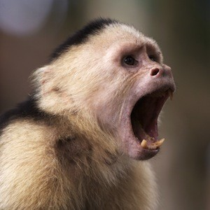 Capuchin White Faced Monkey with Mouth Open