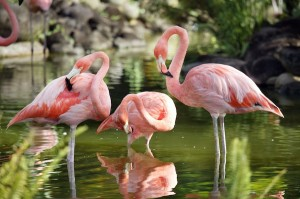 Flamingo conservation and care