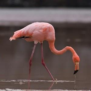 Flamingo distribution
