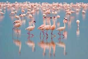 Flamingos Habitat and Distribution