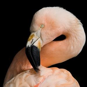 Flamingo introduction