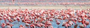 Flamingo_behavior